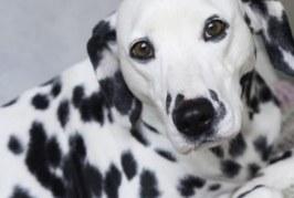España: Consideran accidente laboral el ataque de dos perros a una empleada de hogar